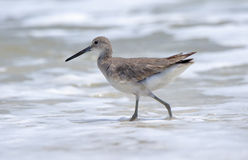Willet walking in the surf Royalty Free Stock Photo