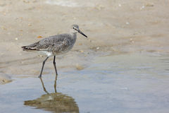 Willet walking in water on a beach Stock Image
