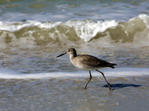 Willet (Catoptrophorus semipalmatus) Royalty Free Stock Photos