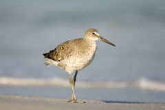 A Willet walks along on the beach. A Willet takes a walk along the beach looking for food Stock Images