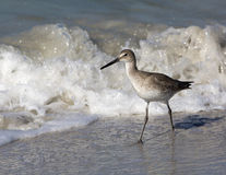 Willet (Catoptrophorus semipalmatus) Stock Photo