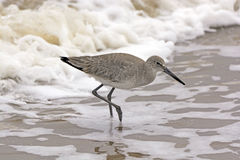 Willet Wandering through the Sea Foam Stock Photography