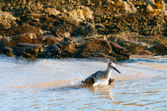 Willet washing itself up Royalty Free Stock Images