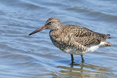 Willet In the Water Stock Photo