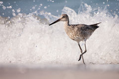Willet Wave Running. This willet is running from a wave Royalty Free Stock Images