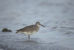 Willet in the waves. An adult Willet rests in the surf along the sandy shoreline of central Florida, near Tampa Bay Stock Photo