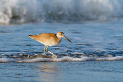 Willet in the Waves. A willet, a type of sandpiper-like seabird, forages in the surf at Emerald Isle, North Carolina just after sunrise Royalty Free Stock Photography