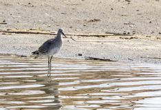 Willet. A Willet on the shores of a pond at Market Lake Wildlife Refuge near Roberts, Idaho Royalty Free Stock Images