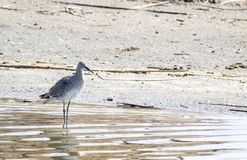 Willet. A Willet on the shores of a pond at Market Lake Wildlife Refuge near Roberts, Idaho Stock Photo