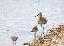 Willet. A Willet on the shores of a wetland at Grays Lake National Wildlife Refuge in Idaho Stock Photo