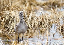 Willet. A Willet on the shores of a wetland at Grays Lake National Wildlife Refuge in Idaho Royalty Free Stock Photos
