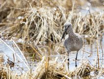 Willet. A Willet on the shores of a wetland at Grays Lake National Wildlife Refuge in Idaho Stock Photography