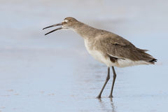 Willet yawning on a Florida beach in fall Stock Photo