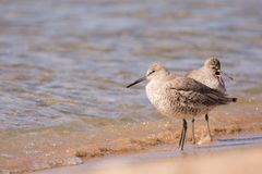Willets stock foto's