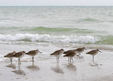 Willets (Catoptrophorus semipalmatus) Royalty Free Stock Photos