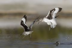 Willets engaged in a territorial dispute - Estero Island, Florid. Willets Tringa semipalmata engaged in a territorial dispute - Estero Island, Florida Stock Image
