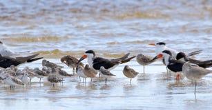 Willets et sanderlings d'huîtriers ponçant dans le seawat peu profond image libre de droits