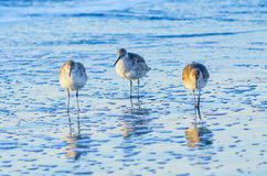 Willets, Folly Beach SC. Three Willets fishing in the morning light along the shore at Folly Beach in SC Stock Photo