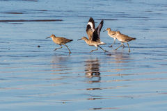 Willets fonctionnant photos stock