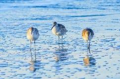 Willets, Sc della spiaggia di follia Fotografia Stock