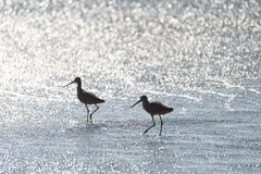 Willets silhoutted in the surf in Califonia Royalty Free Stock Image