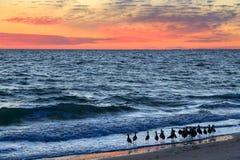 Willets und Sonnenuntergangs-Brandung lizenzfreie stockfotos