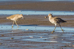Willets Royalty Free Stock Image