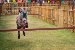 The willful goat is jumping in goat race Royalty Free Stock Photography