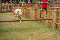 The willful sheep is jumping in sheep race Royalty Free Stock Image