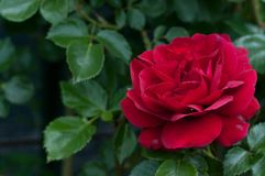 William Shakespeare una rosa del rojo de David Austin imagen de archivo