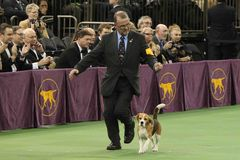 Williams Alexander, Miss P. NEW YORK-FEB 17: Miss P, a 15-inch beagle from the hound group, is shown by William Alexander before winning the Best in Show award Stock Photos