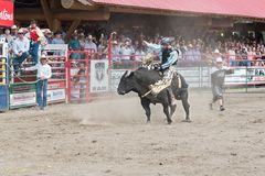 Bucking bull tries to throw off cowboy at bull riding competition royalty free stock images