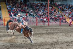 Man rides bucking horse at saddle bronc competition at stampede. Williams Lake, British Columbia/Canada - July 1, 2016: man rides bucking horse during the saddle Stock Images