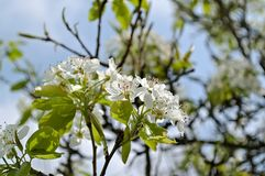 Williams pear in blossom. Williams pear fruit tree in spring with blossom stock images