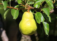 Williams pears. With green leaves Royalty Free Stock Images