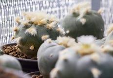 Williamsii macro del lophophora del cactus Imagen de archivo libre de regalías