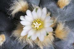 Williamsii macro var del lophophora de la flor cactus del texana Foto de archivo