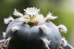 Williamsii macro var del lophophora de la flor cactus del texana Fotos de archivo