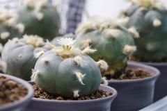 Williamsii macro var del lophophora de la flor del cactus texana Fotos de archivo libres de regalías