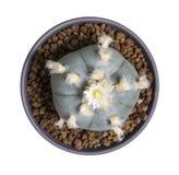 Williamsii macro var del lophophora de la flor del cactus texana Fotografía de archivo