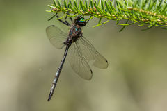 Williamson's Emerald Dragonfly Stock Photos