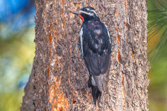 Williamson's Sapsucker. Adult Male, Williamson's Sapsucker Perched On Side Of Ponderosa Pine Trunk Stock Photography