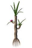 Williamsonia gigas Tree Royalty Free Stock Image