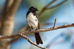Willie-hochequeue - leucophrys de Rhipidura - jeune oiseau australien noir et blanc, Australie, Tasmanie photographie stock