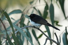 Willie Wagtail. A Willie Wagtail in Corowa, NSW, Australia Stock Photo