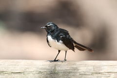 Willie Wagtail. A Willie Wagtail sitting on a fence in Phillip Island, Victoria, Australia Royalty Free Stock Image