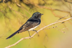 Willie Wagtail Photos stock