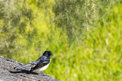 Willie wagtail. Australian willie wagtail Rhipidura leucophrys in smart black and white plumage Royalty Free Stock Photo