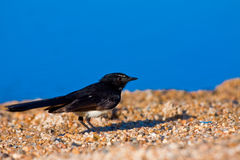 Willie wagtail on beach. A willie wagtail on the beach with blue sky in the background Royalty Free Stock Photo