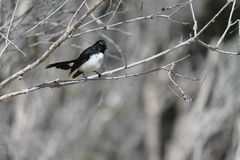 Willie Wagtail. Beautiful wildlife at Stradbroke Island, Qld Stock Images